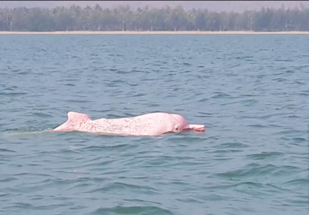 Картинка розовый дельфин